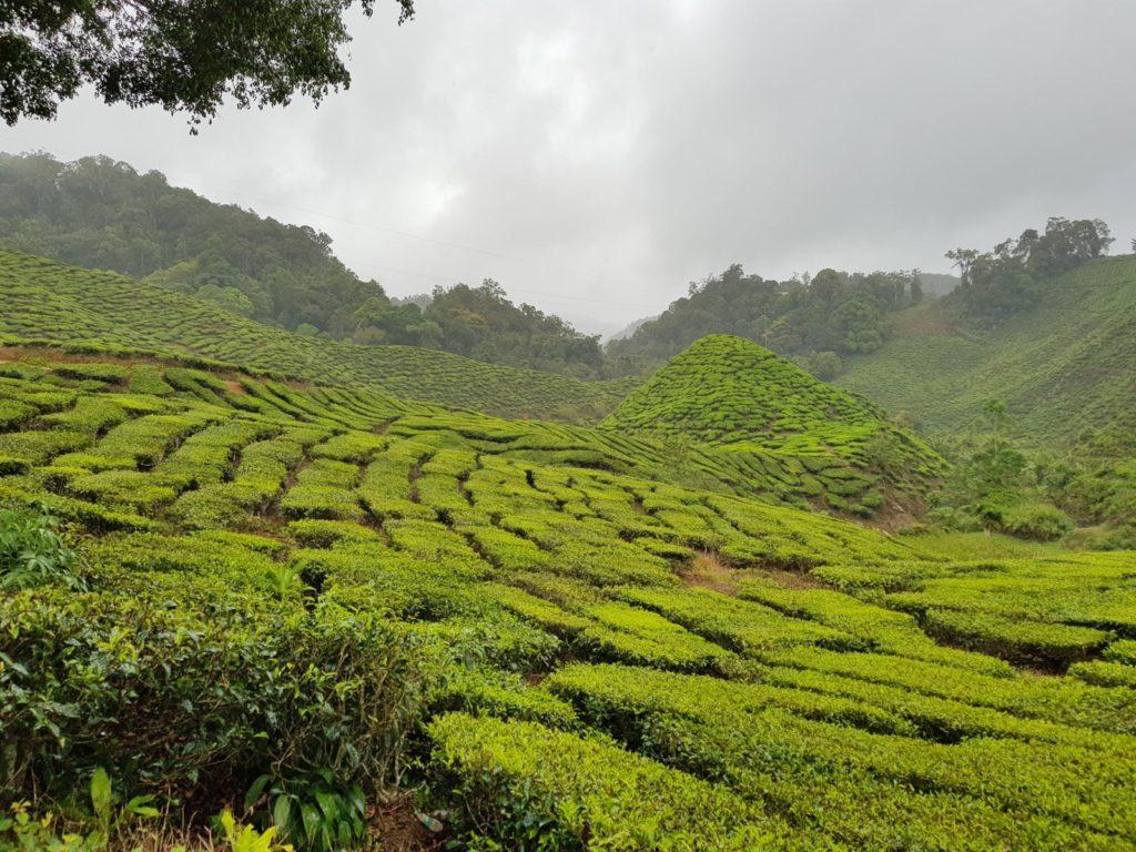 Grüne Teeplantagen in Malaysia